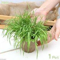 長さで選べる スーダングラス 直径8cmECOポット植え(長め)(無農薬)(1ポット)