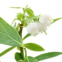 果樹苗 ブルーベリー ピンクレモネード 4号(1ポット) 家庭菜園 北海道冬季発送不可
