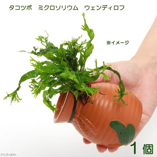 (水草)タコツボ小 ミクロソリウム ウェンディロフ(1個)
