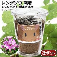 種まき済み レンゲソウ栽培 ECOポット(3ポット)