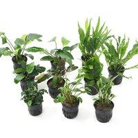人気の水草 10種セット アヌビアス3種クリプト3種ミクロ3種ブセ1種(1セット)
