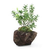 苔盆栽 ヒメヒイラギ(姫柊)溶岩石鉢植え(1鉢)