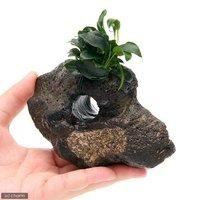 アヌビアスナナ プチ付 穴あき溶岩石(1個)
