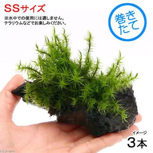 (観葉植物/苔)テラ向け シッポゴケ付流木 SSサイズ(約10cm)(3本)