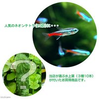 (水草)ネオンテトラ(20匹) +おまかせ水上葉3種セット 計10本