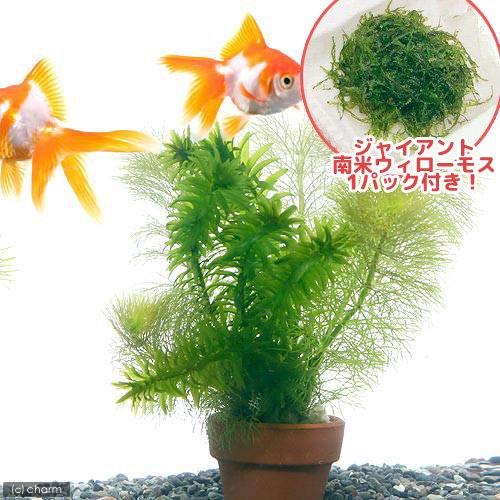 (水草)ジャイアント南米ウィローモス&メダカ・金魚藻 ミニ寄植え鉢(1セット) 熱帯魚