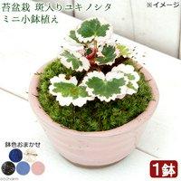 苔盆栽 斑入りユキノシタ(御所車) ミニ小鉢植え 鉢色おまかせ(1鉢)
