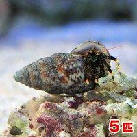 ヤドカリ 沖縄産 ツマキヨコバサミ(5匹)